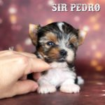 Mini Biewer Terrier Puppy Sir Pedro