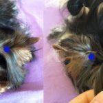 Biewer Terrier BTCA Top Knot Issue