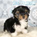 Sir Triton Biewer Terrier Boy