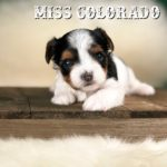 Rocky Mountain Biewer Terrier Puppy Girl Miss Colorado