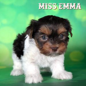 Miss Emma Chocolate Biewer Terrier Puppy