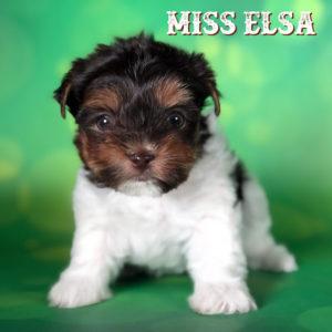 Miss Elsa Chocolate Biewer Terrier Puppy
