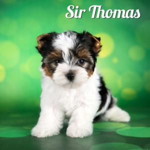 Biewer Terrier Puppy Sir Thomas