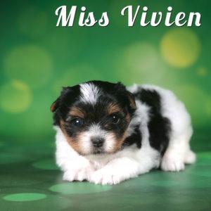 Biewer Puppy Miss Vivian