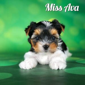 Biewer Terrier Puppy Miss Ava