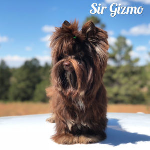 Dark Chocolate Yorkshire Terrier