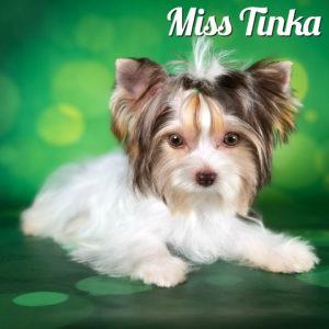Mini Chocolate Biewer Miss Tinka