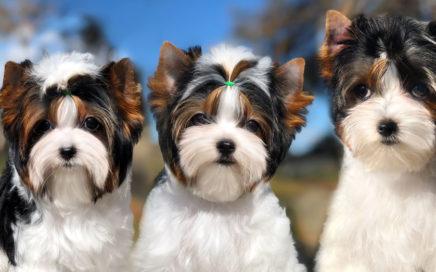 Biewer Terrier Training Tips