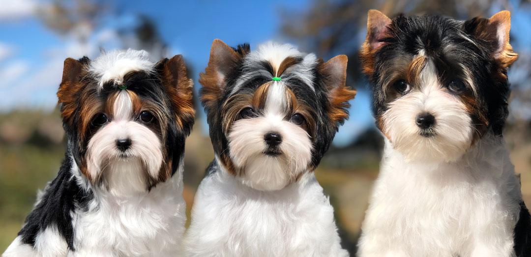Biewer Terrier Training
