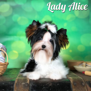 Biewer Terrier Alice