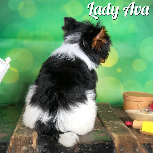 Mini Biewer Lady Ava