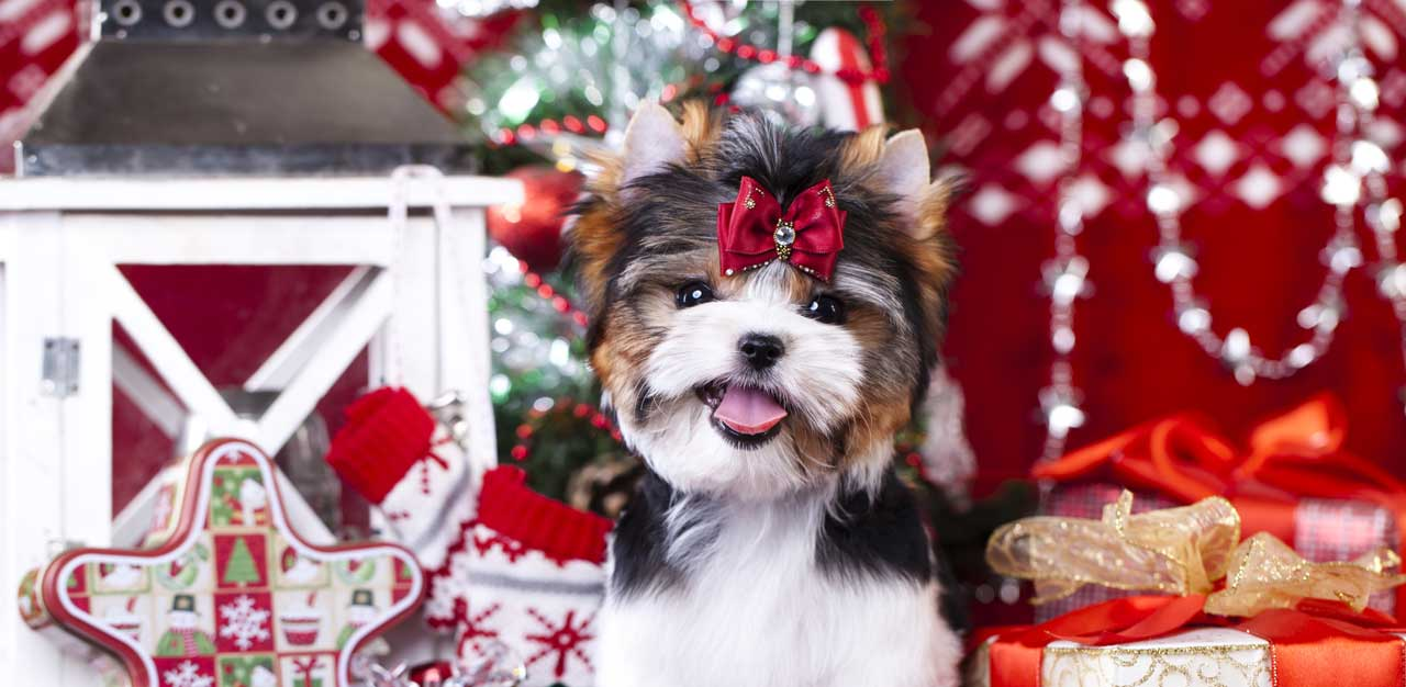Biewer Terrier Christmas Slider