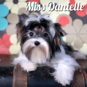 Danielle Biewer Terrier