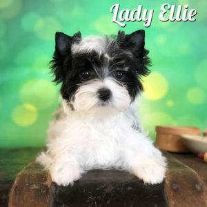 Miss Ellie Biewer Terrier