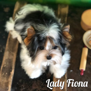 Mini Biewer Girl Fiona