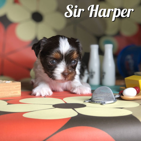 Biewer Puppy Sir Harper