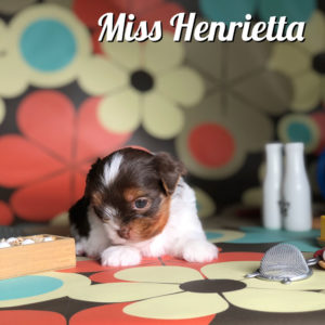 Henrietta Chocolate Biewer