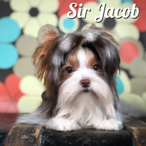 Biewer Puppy Sir Jacob