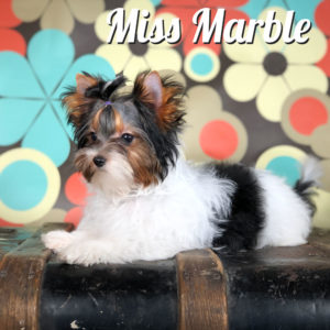 Marble Biewer Puppy