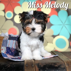 Biewer Puppy Miss Melody