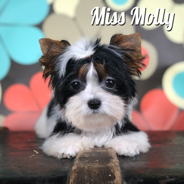 Mini Biewer Miss Molly