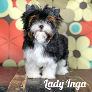 Inga Biewer Puppy