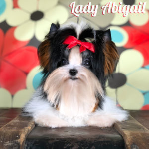 Mini Biewer Terrier Lady Abigail