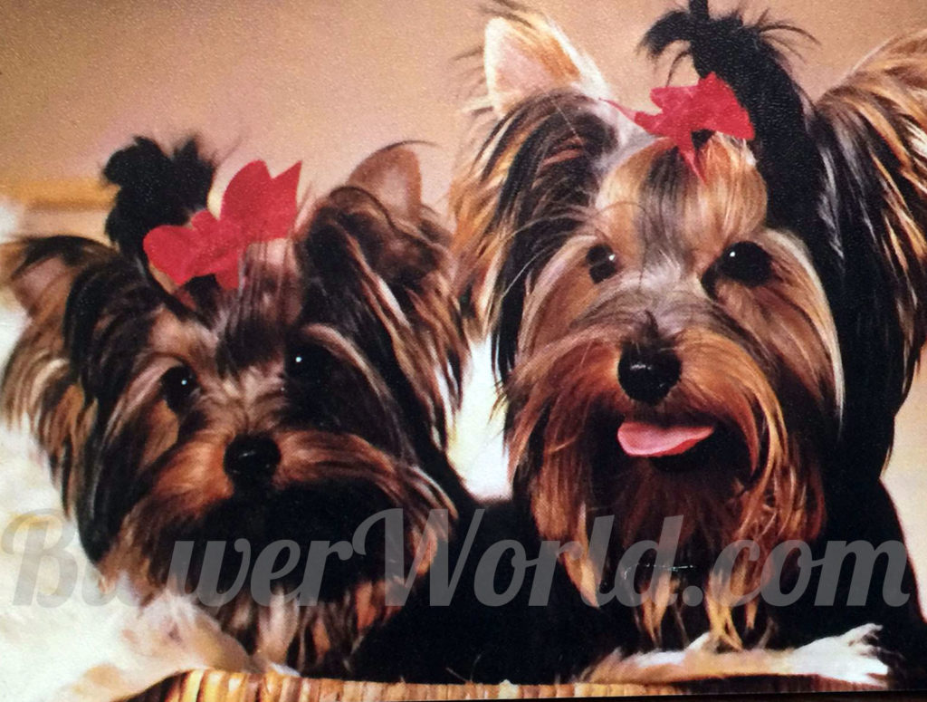 Friedheck Yorkshire Terriers