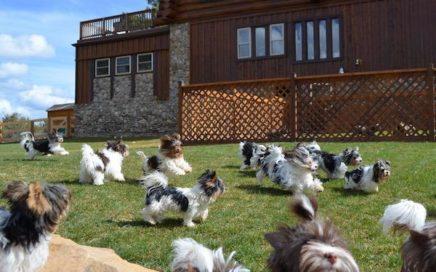 Biewer Terrier News Blog