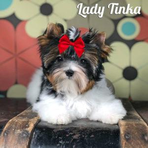 Tinka Biewer Terrier