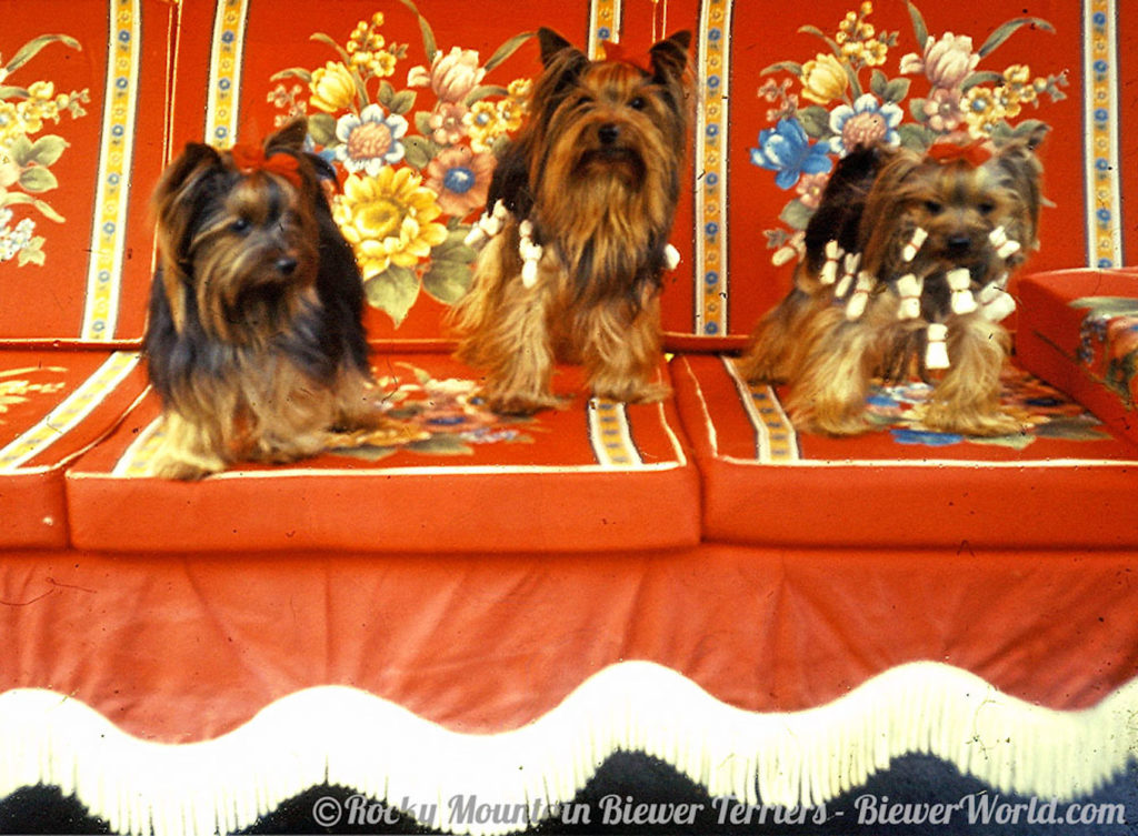 Three of the Friedheck Yorkies