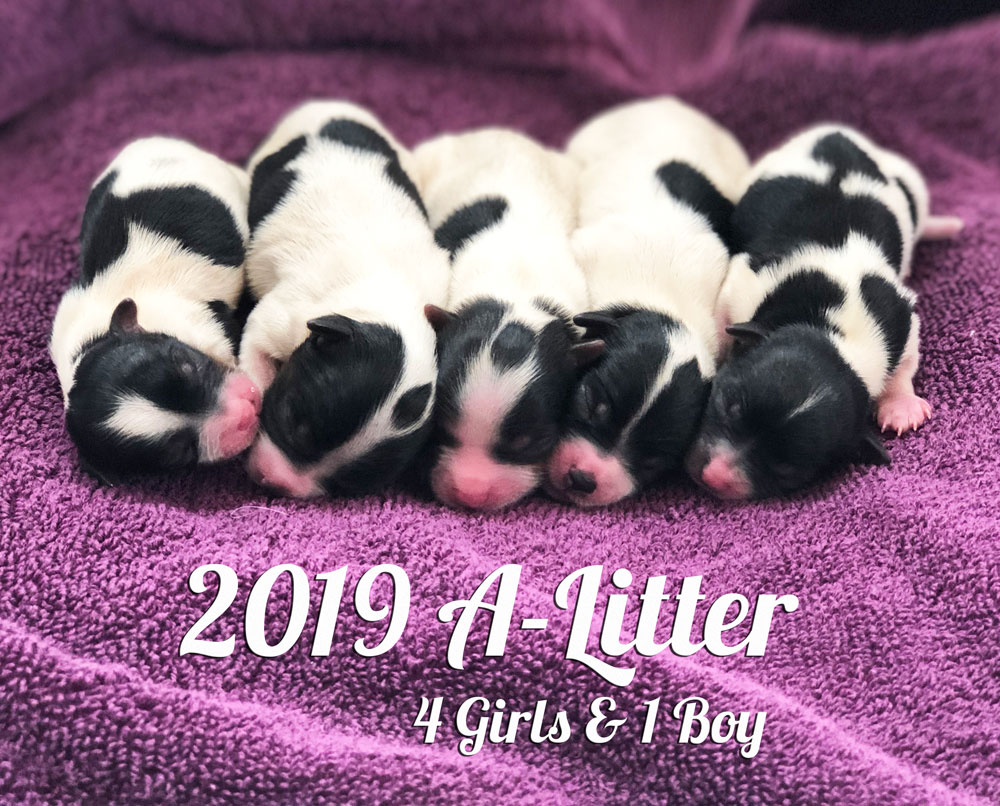 2019 Biewer Terriers A-Litter