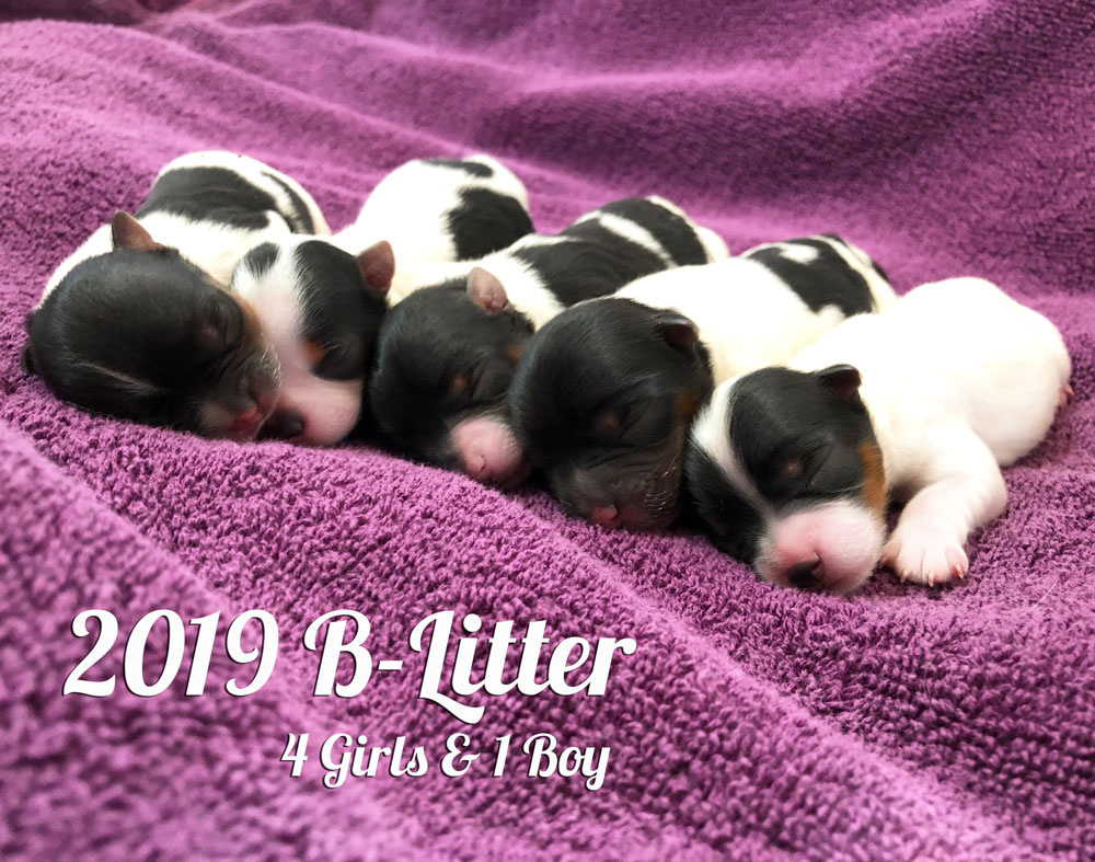 2019 Biewer Terriers B-Litter