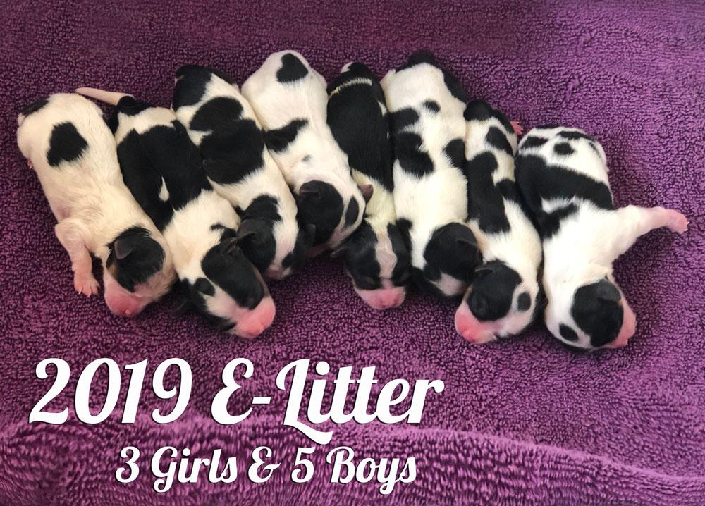 2019 Biewer Terriers E-Litter