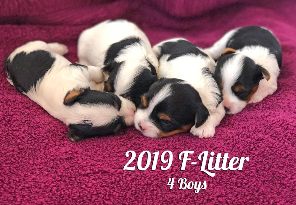 2019 Biewer Terrier F-Litter