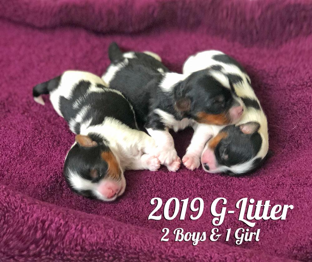 2019 Biewer Terrier G-Litter