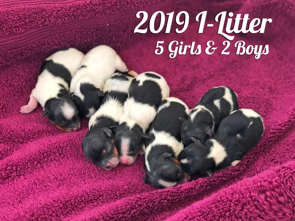 2019 Biewer Terrier I-Litter