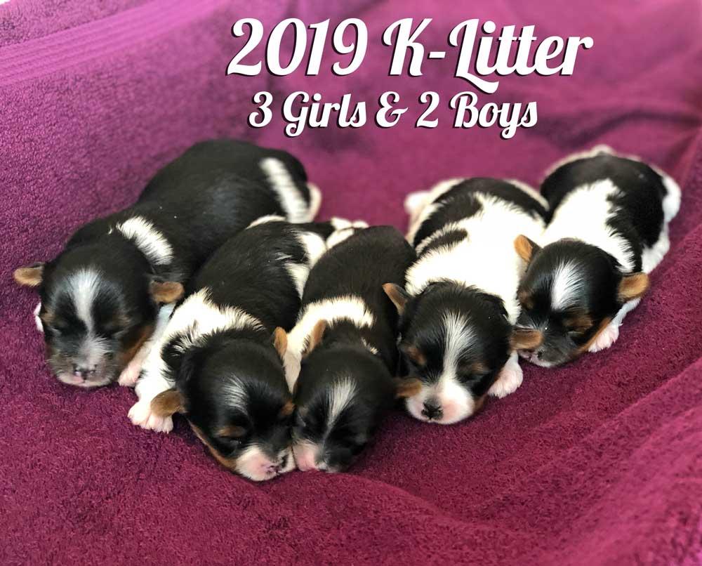 2019 Biewer Terrier K-Litter