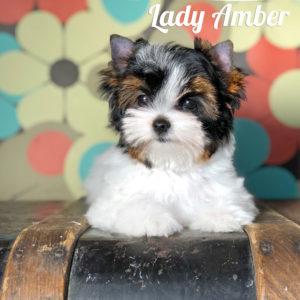 Biewer Puppy Amber