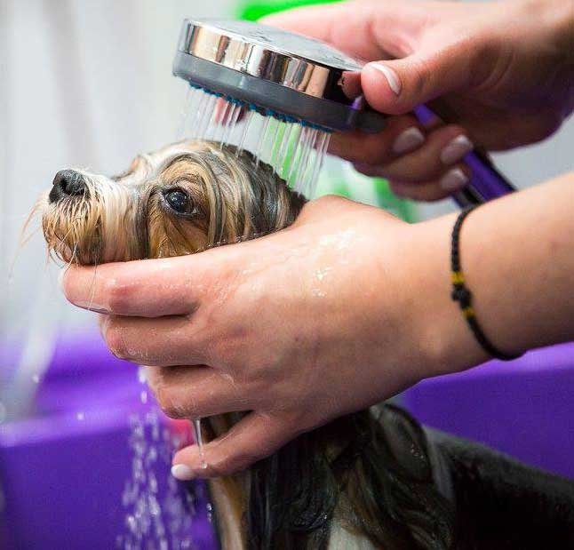 Biewer Terrier Grooming
