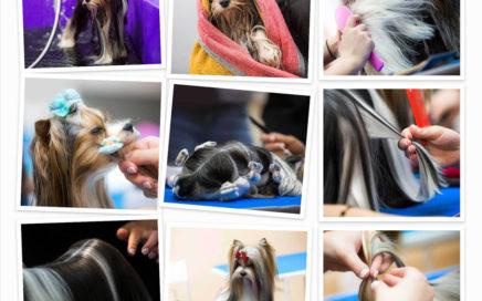 Biewer Terrier Show Grooming