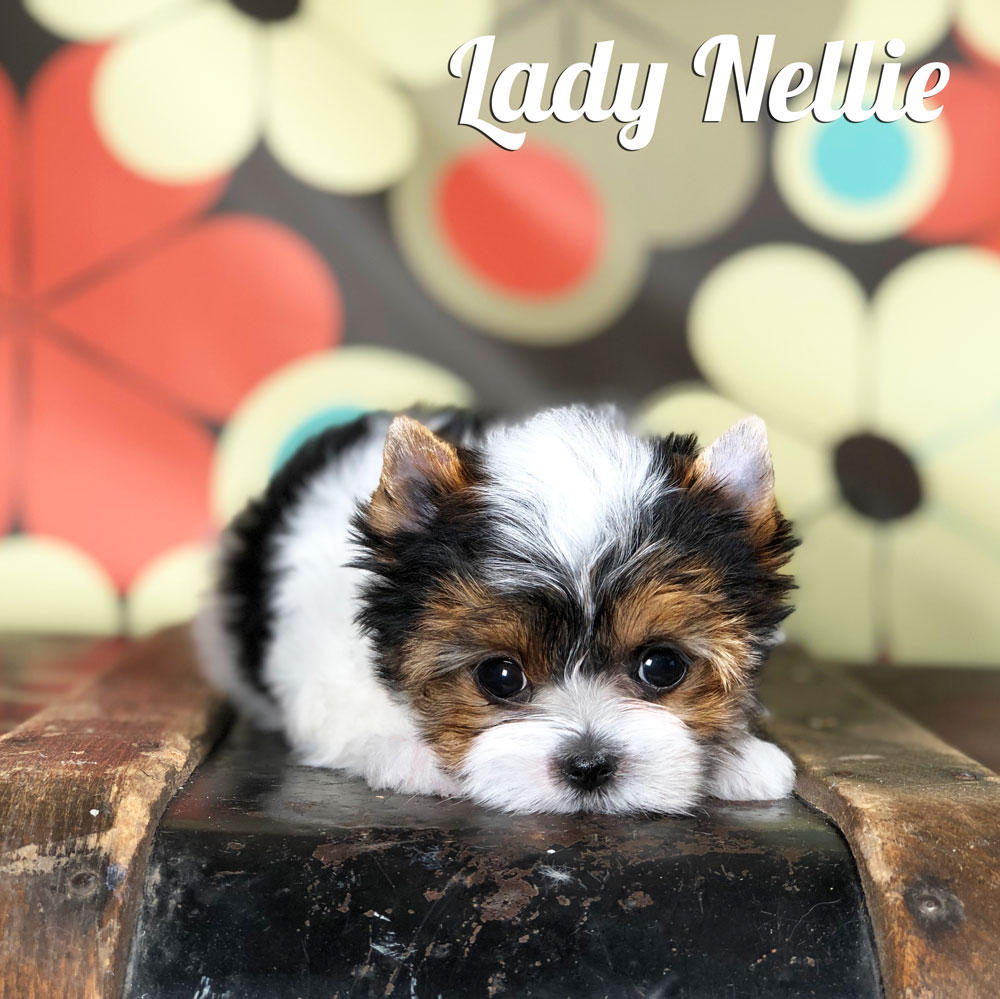 Biewer Terrier Puppy Lady Nellie Is