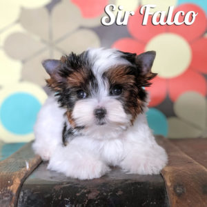 Biewer Puppy Falco