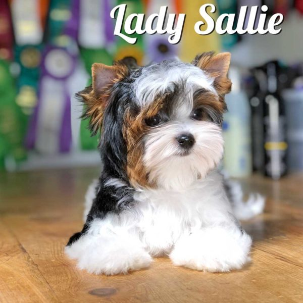 Biewer Puppy Sallie