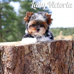 Victoria Biewer Puppy
