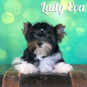 Biewer Puppy Eva