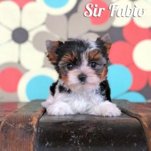 Biewer Puppy Fabio