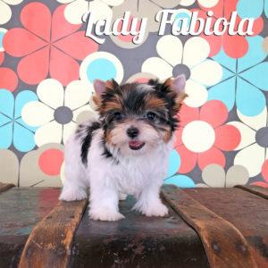 Biewer Puppy Fabiola