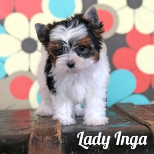 Biewer Puppy Inga