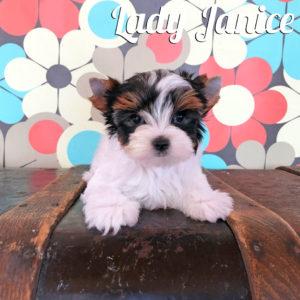 Biewer Puppy Janice
